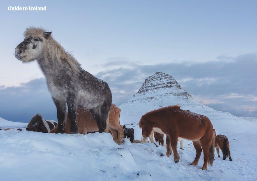 冬季冰島馬