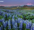 ทุ่งดอกลูปินที่ออกดอกไปทั่วประเทศไอซ์แลนด์ในช่วงเดือนมิถุนายน ที่สามารถพบได้ในคาบสมุทรสไนล์แฟลซเนส.