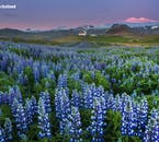 Lupine fields pop up all over Iceland in June, here seen on Snæfellsnes peninsula