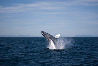 Avistamiento tradicional de ballenas desde Reikiavik