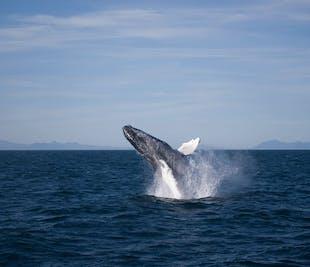 Avventura di Osservazione delle Balene da Reykjavík