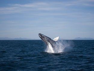 Original Whale Watching Adventure from Reykjavík