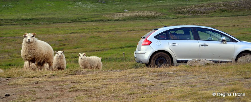 Free roaming sheep are a common sight whilst driving around the Westfjords.