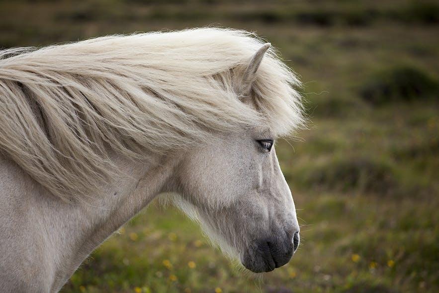 Un bel exemplaire d'un cheval islandais gris.