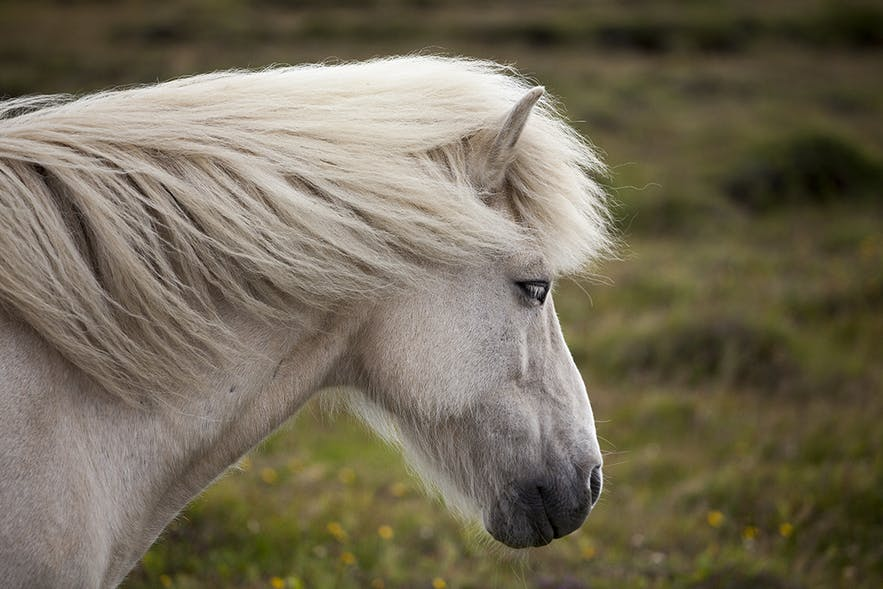 A beautiful specimen of a gray Icelandic horse.