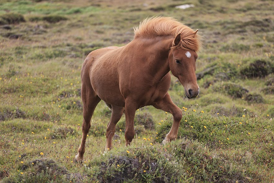 An Icelandic horse stretching its leg in a field during a summer's day.