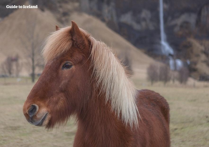 Konie na Islandii | Co musisz o nich wiedzieć
