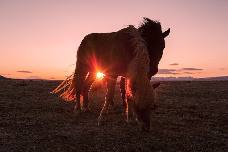 Deux chevaux islandais appréciant une collation de fin de soirée sous le soleil de minuit.