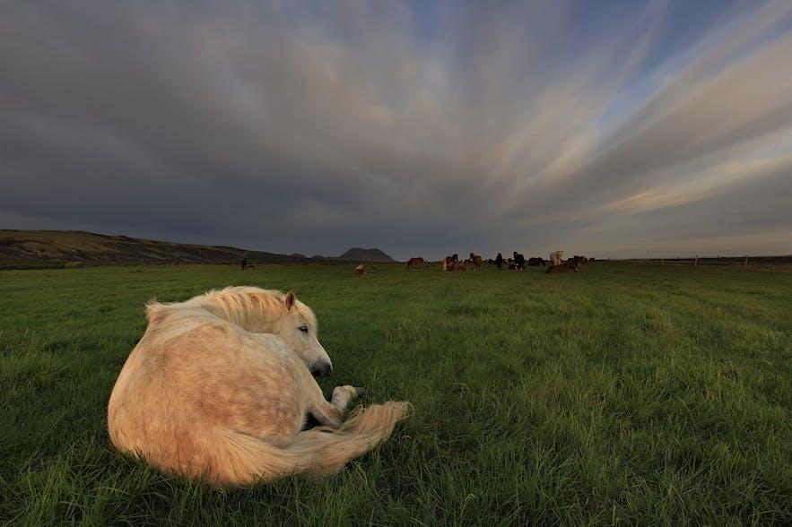 Un cheval endormi dans un champ verdoyant par une journée d'été nuageuse en Islande.