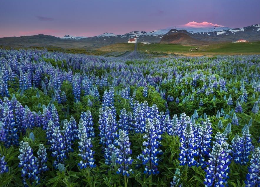 冰島夏天可以找到很多魯冰花