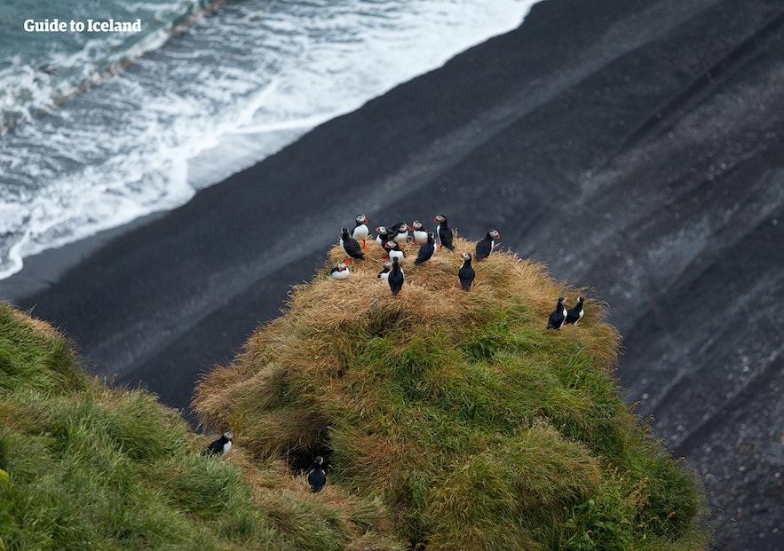 冰島夏天聚集的Puffin
