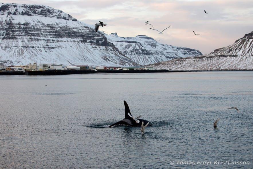 在冰島出海觀鯨