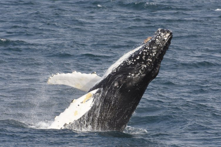 A humpback whale breaches the water.