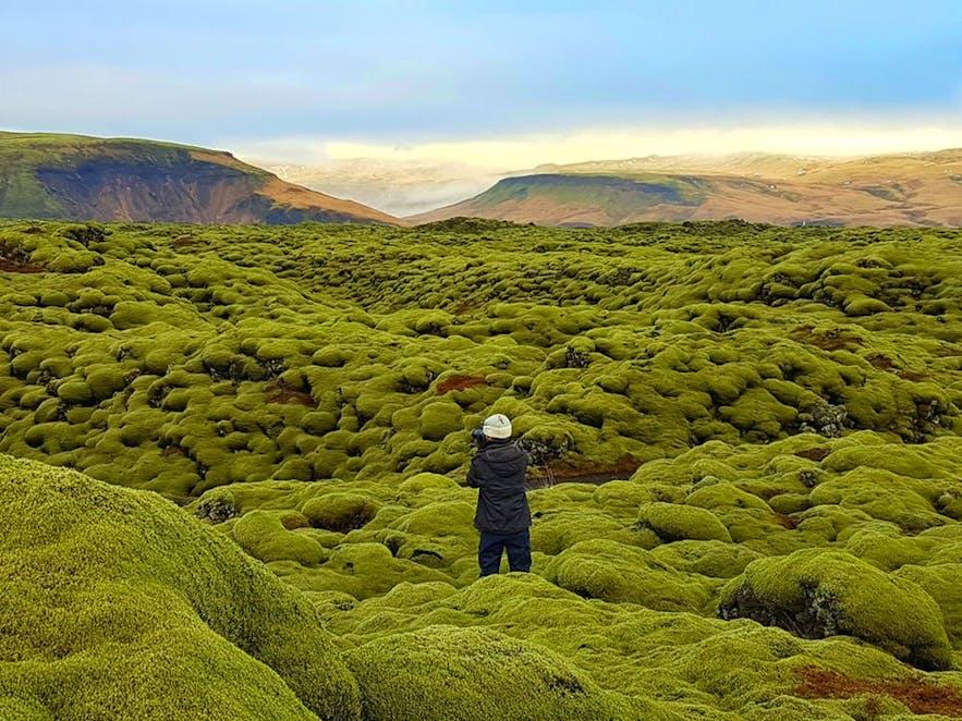 Deptanie islandzkiego mchu jest surowo zabronione.