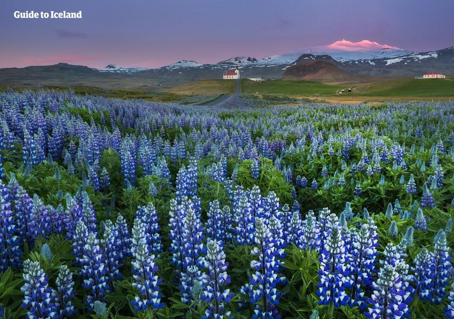 Białe noce na półwyspie Snaefellsnes i krajobraz wypełniony fioletowymi łubinami.