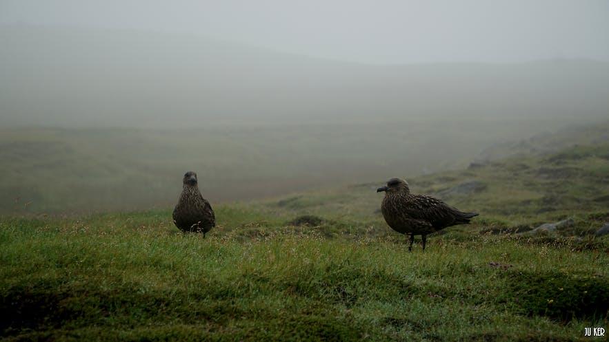A Ingólfshöfði, vous pouvez voir de nombreux oiseaux