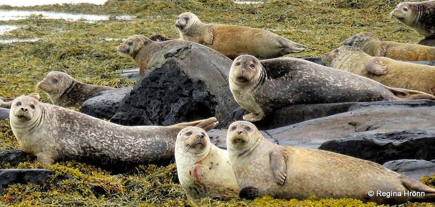 Seal colony near Hvammstangi town in northwest Iceland