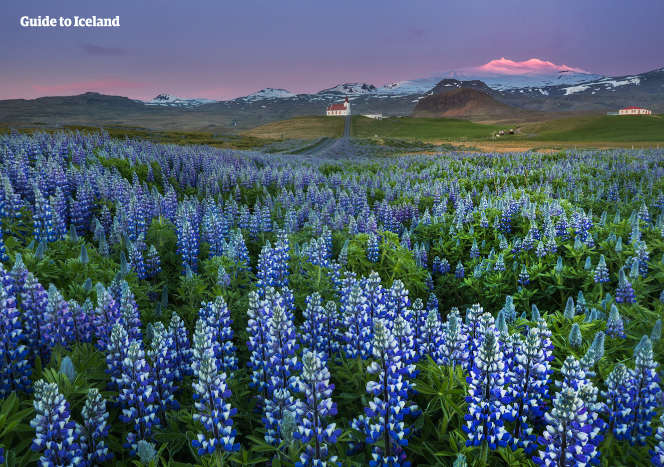 The Snæfellsnes Peninsula is covered with the beautiful Lupin flower in the summer.
