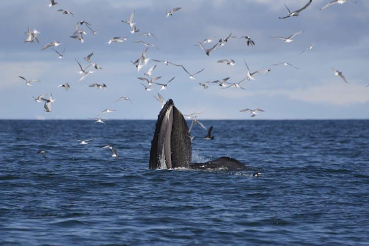 Différents types de baleines peuvent être vus dans les mers entourant l'Islande, la plupart de Húsavík, la capitale de l'observation des baleines du pays