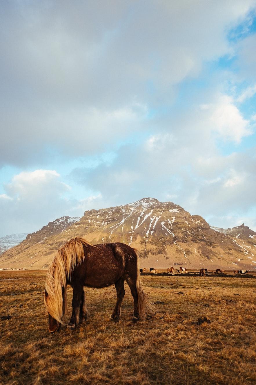 秋景中的冰島馬