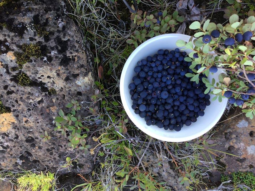 冰島野生藍莓樹