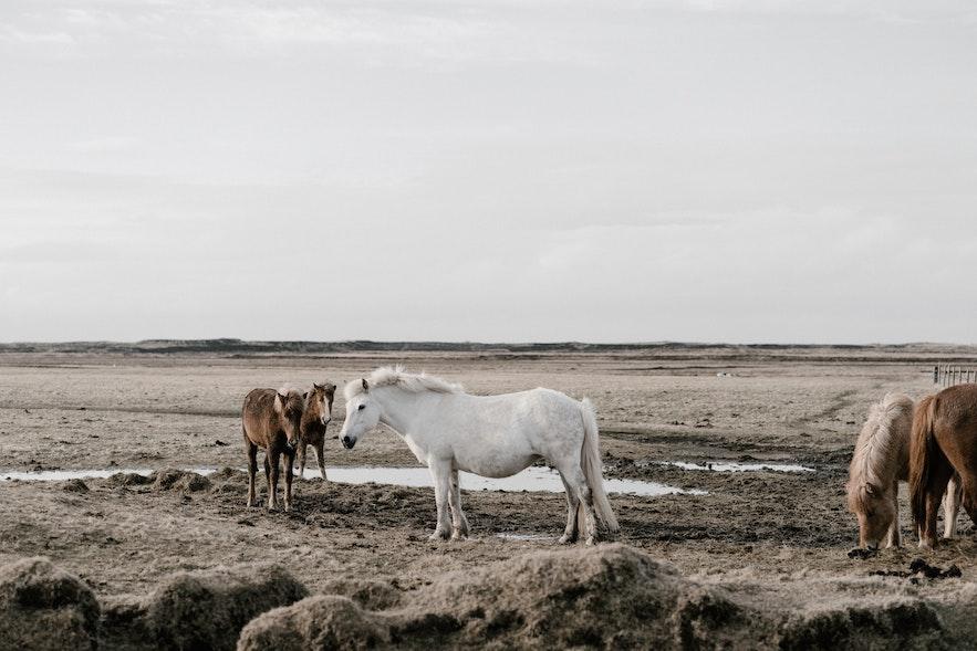 冰島馬在郊外