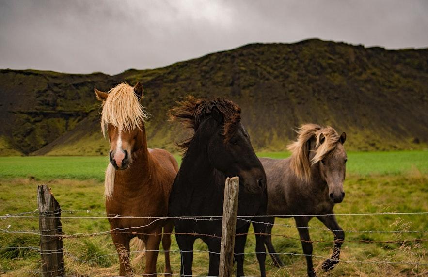 三匹冰島馬的聚會