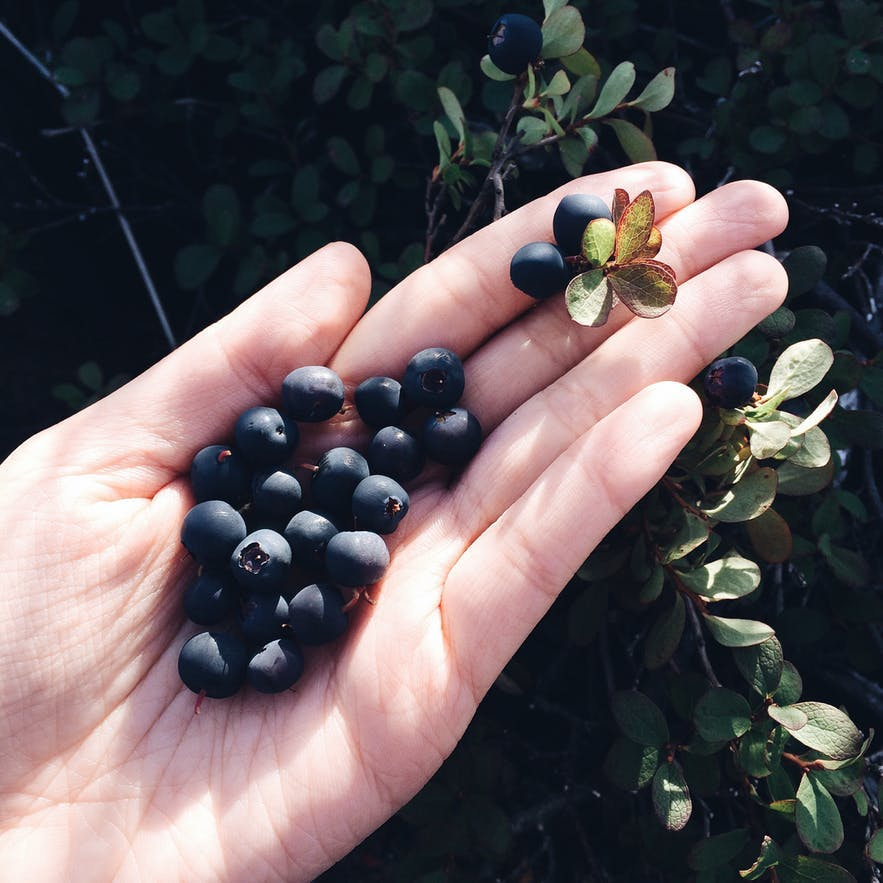 冰岛的九月是本地人采摘蓝莓的季节