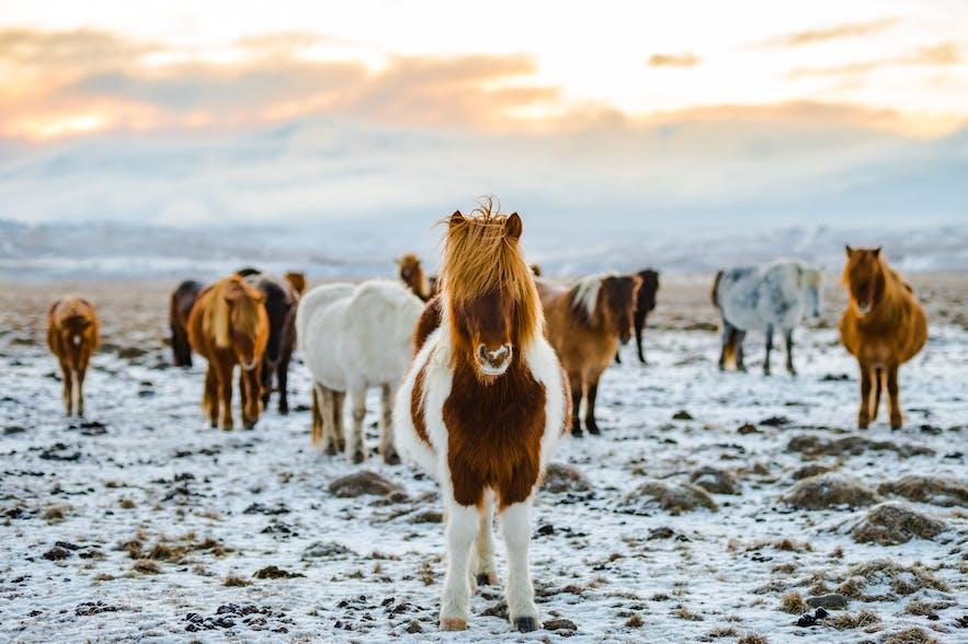 冰島騎馬體驗