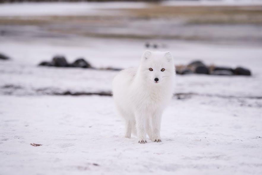 冰島北極狐