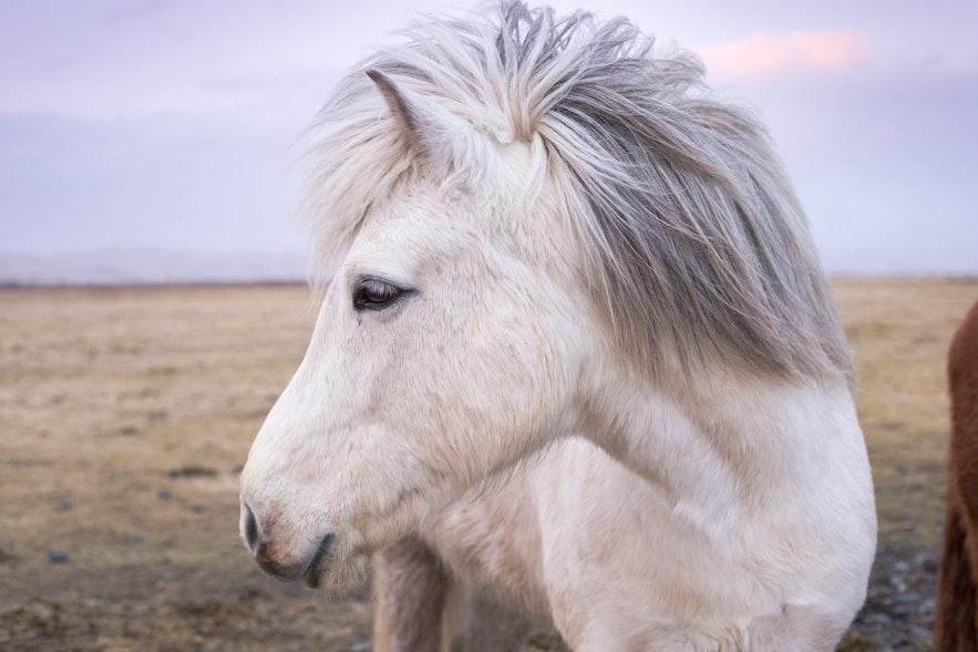 冰島馬側臉