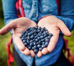 Taste the fresh berries found in the Icelandic Nature on a hiking tour to the highlands.