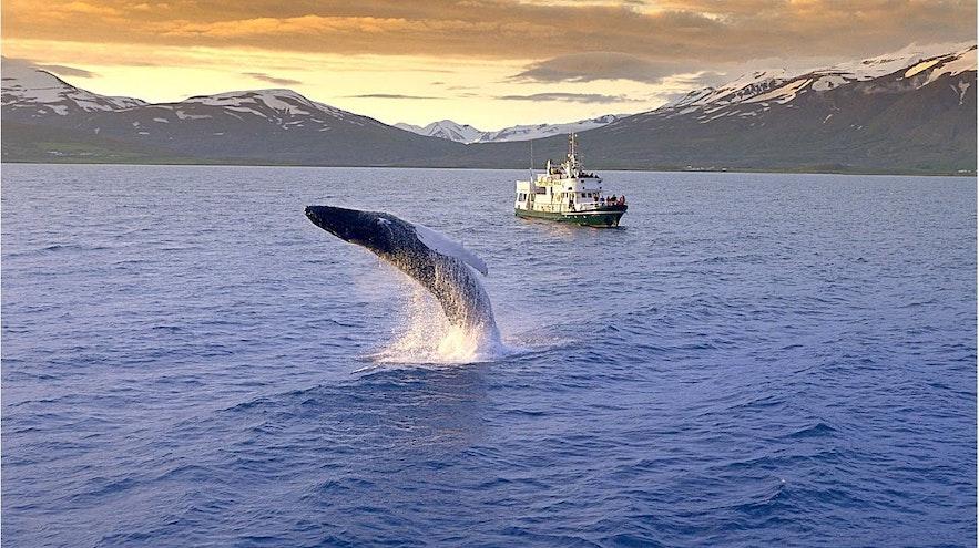 冰島雷克雅維克觀鯨