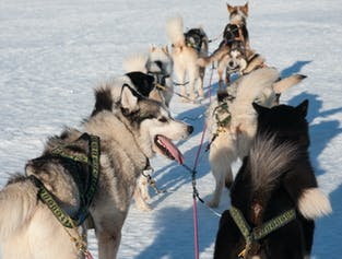 Sled Dog Ride Tour | With Transfer Service from Reykjavik