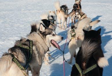 Trineo con perros Nivel 1   Recogida desde el hotel en Reykjavík