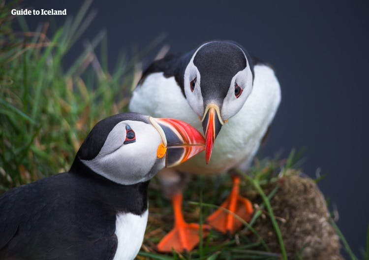Visit Látrabjarg cliffs in the Westfjords of Iceland for a chance to spot a few puffins.
