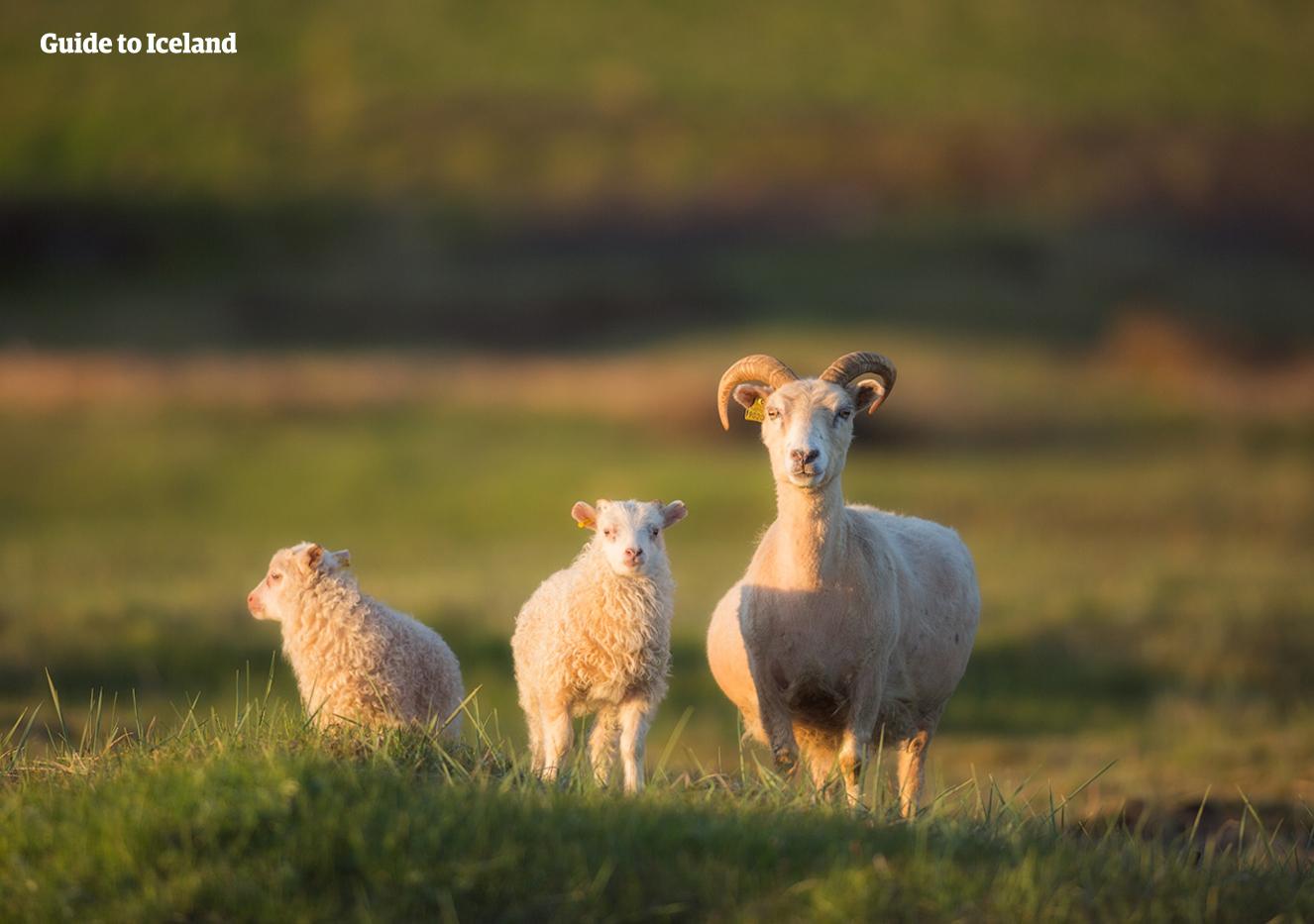 Halte auf deiner Sommer-Mietwagenreise durch die isländische Natur nach Schafen Ausschau.