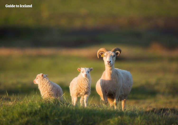 Keep an eye out for sheep as you travel around the Icelandic nature on your summer self-drive tour.