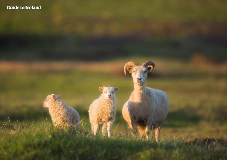 Objeżdżając Islandię dookoła latem na pewno uda Ci się zobaczyć stada owiec.