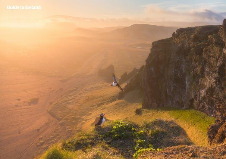 ディルホゥラエイの崖はパフィンの営巣地としても知られる