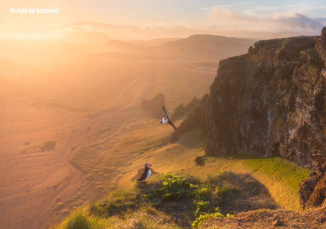 Los acantilados de Dyrhólaey son uno de los lugares más populares de Islandia para los frailecillos y también ofrecen vistas espectaculares en todas las direcciones.