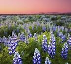 I campi di lupini abbelliscono i paesaggi islandesi durante il periodo estivo.