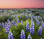 Lupinenfelder zieren Islands Landschaften im Sommer.