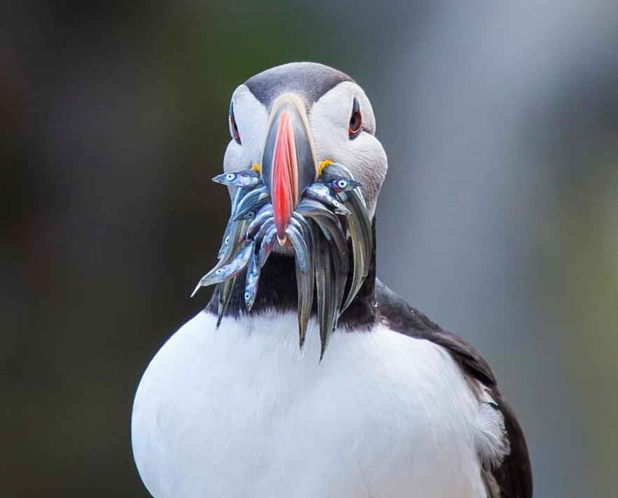 The Atlantic puffin feeds on small fish and plankton