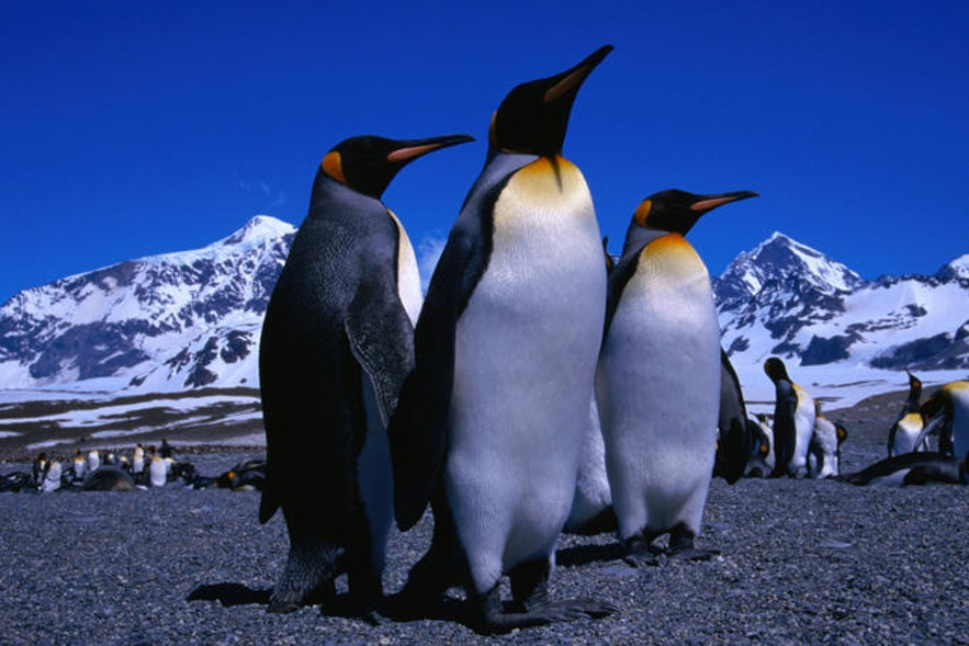 King Penguins arriving at Iceland's South Coast