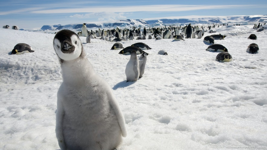 Cute penguins are Iceland's newest inhabitants