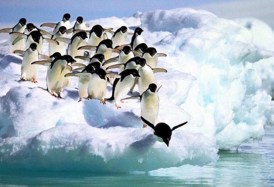Penguins have made Jökulsárlón glacier lagoon their home
