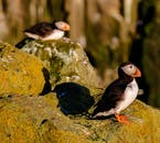 Two puffins hanging by the islands