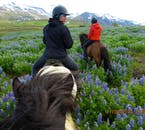 Riding through a field of lupine flowers on an Icelandic horse.