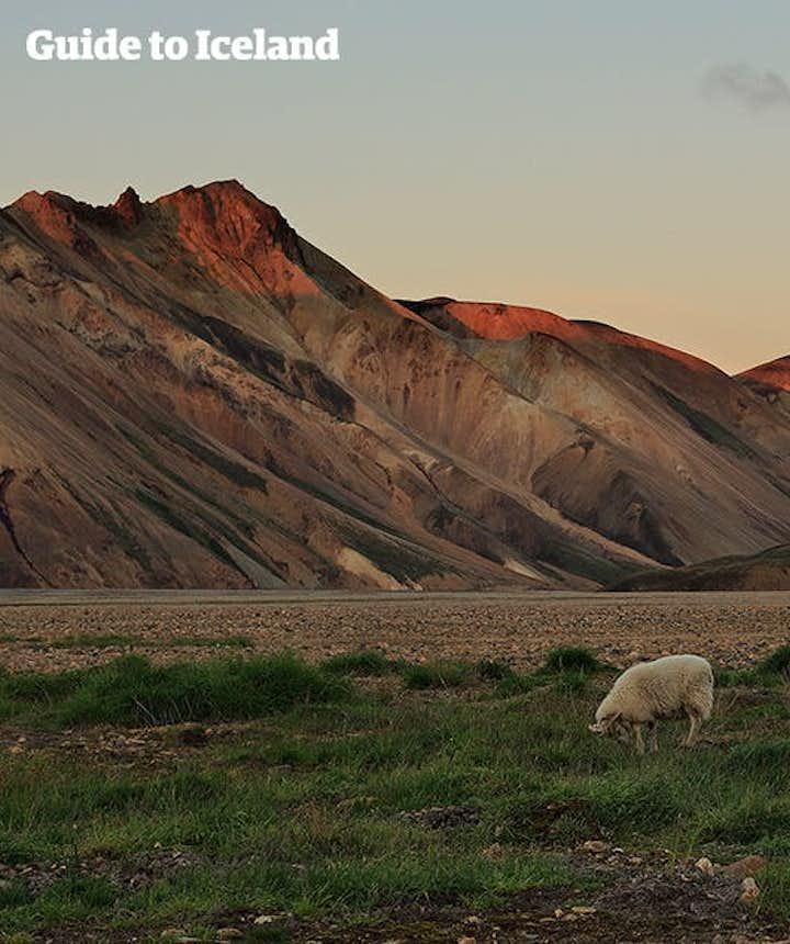 木のないランドマンナロイガルの山と放し飼いの羊